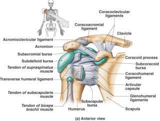 Niseko Chiropractic ligament picture